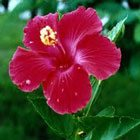 Amber Çiçeği