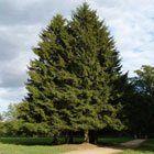 Çam Ağacı