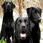 Siyah Köpek