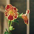 Dil çiçeği