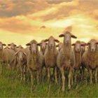 Koyun Sürüsü